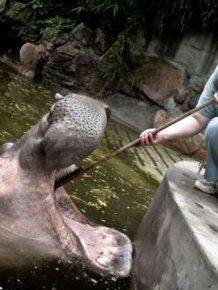 Hippopotamus Teeth Brushing