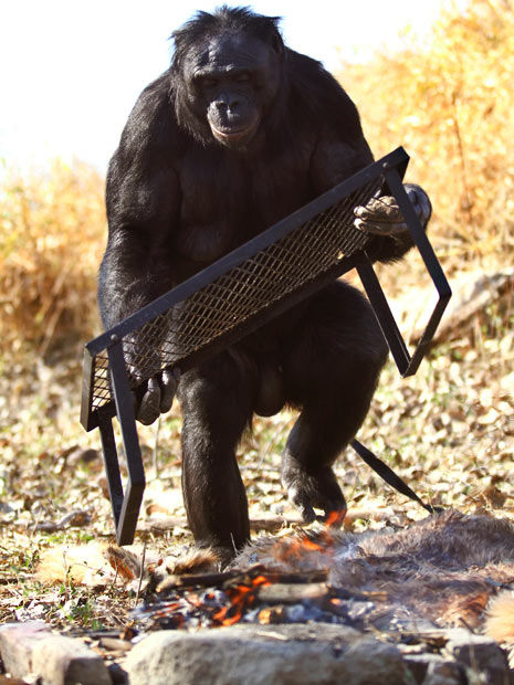 Meet the Fascinating Food Cooking Chimpanzee
