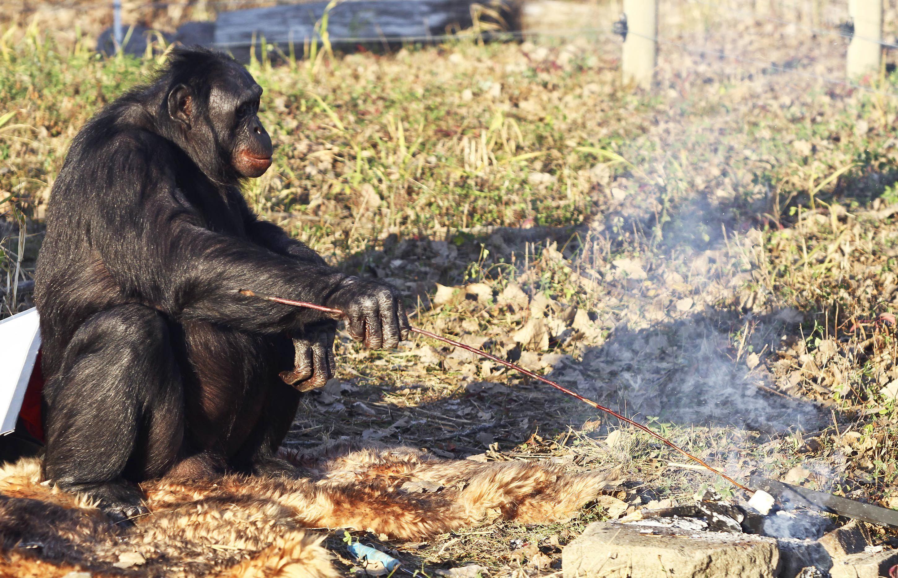 [Image: meet-the-fascinating-food-cooking-chimpanzee-9.jpg]