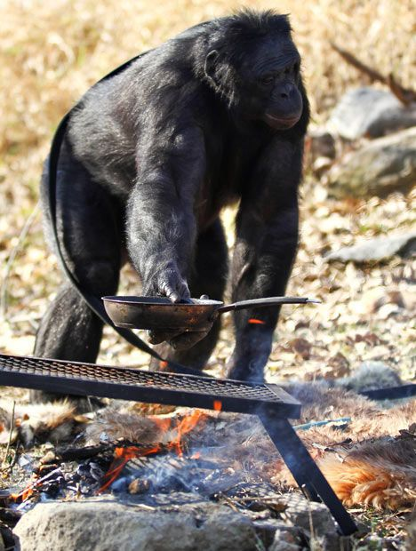 Food Cooking Chimpanzee