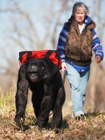 Food Cooking Chimpanzee