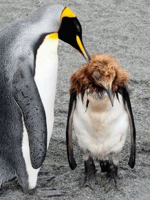 Penguin Puberty