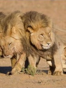 Three Lions Came Out the Pub...