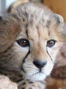 Pet Cheetah Jolie