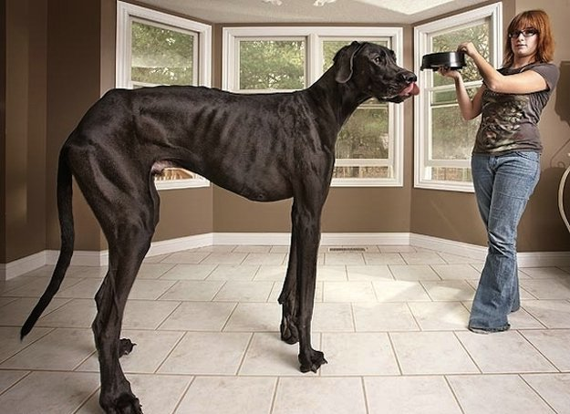 Zeus, the World's Tallest Dog