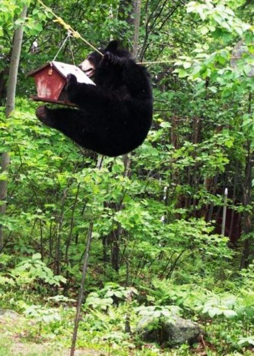 Bear Gets the Bird Feeder