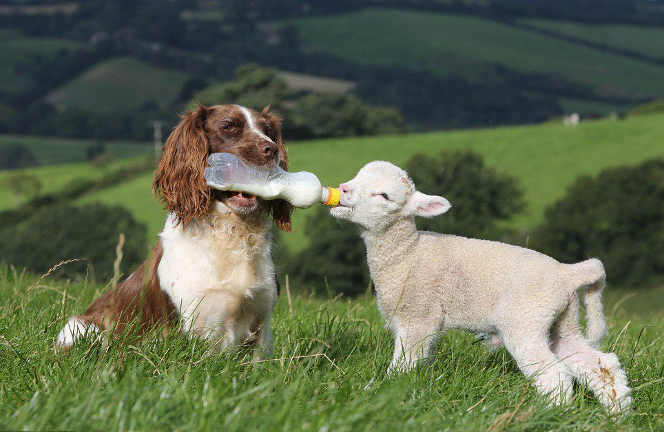 UK Dog Is an Amazing Lamb Nurse