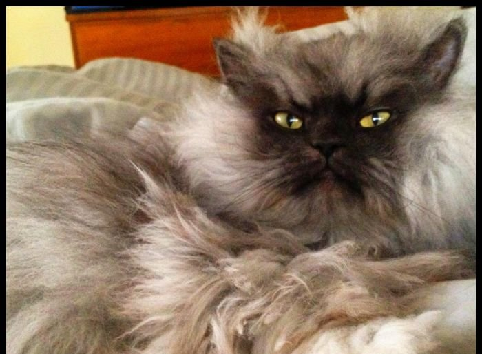 Colonel Meow Is One Angry Cat Animals