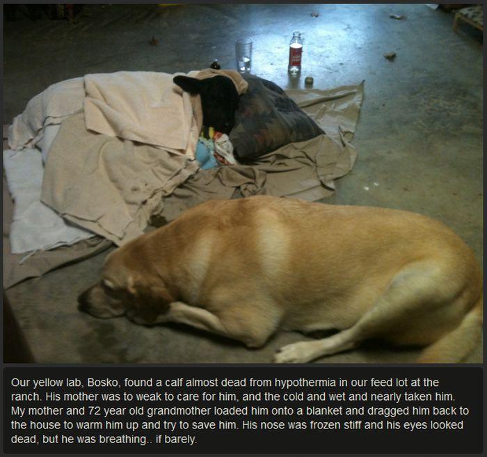 Rescuing a Calf