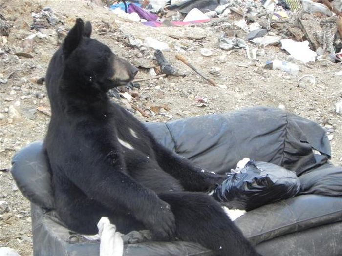 What Does a Bear Do When He Finds an Old Couch?