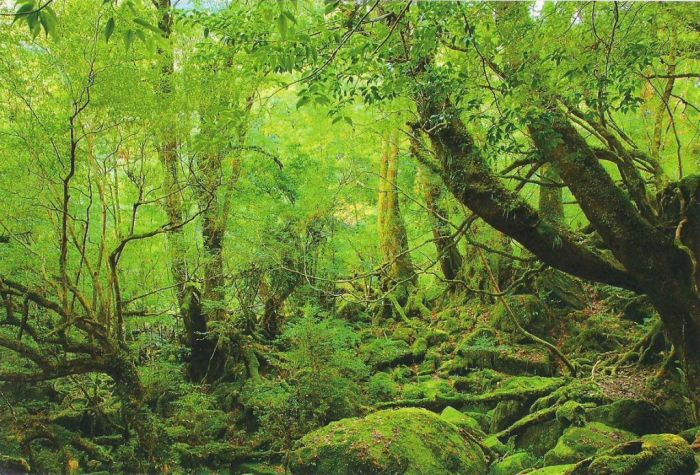 Beautiful Forest on Japanese Yakushima Island