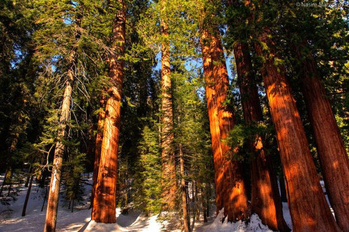 Enormous Sequoia Trees
