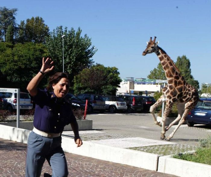 Giraffe on The Loose
