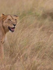 Wounded Lioness Adopts Baby Antelope