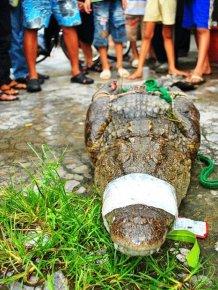 Crocodiles on the Loose
