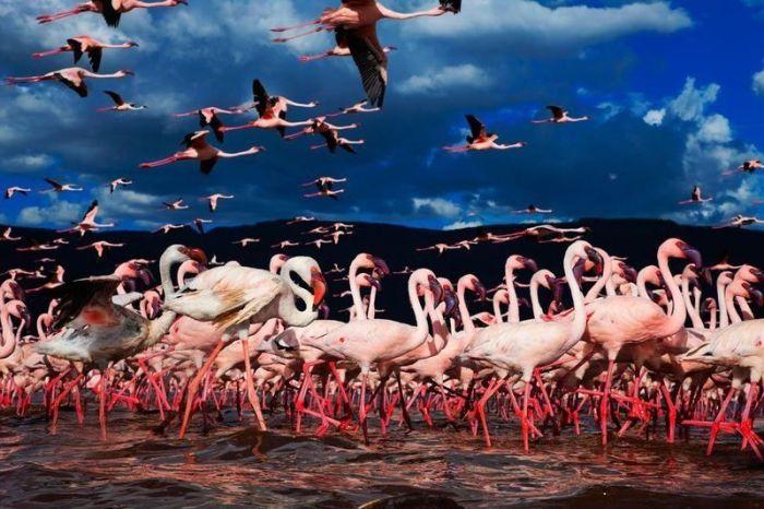 Lake Nakuru's Flamingos
