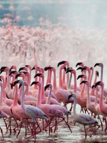 Lake Nakuru's Flamingos