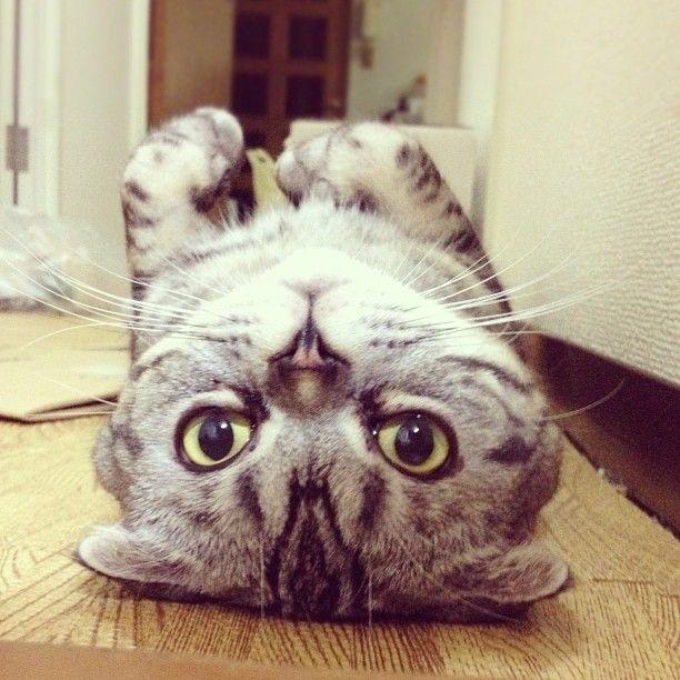 Shishi-Maru Cat is a New Internet Sensation