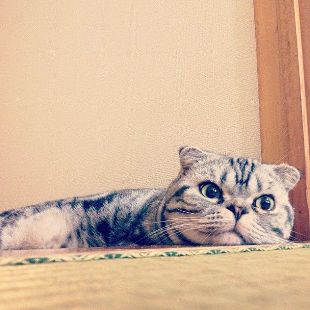 Shishi-Maru Cat is a New Internet Sensation