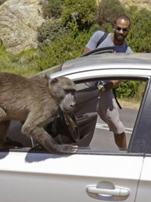 Baboons vs Tourists