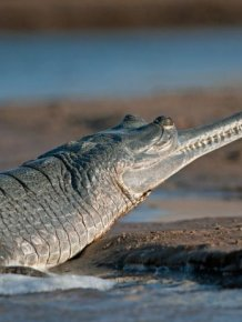 Gharial Photos