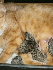 New Mom for Baby Hedgehogs