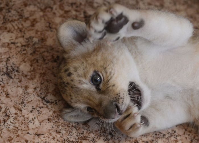 Kiara is the First Born Liliger Ever