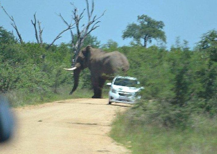 Elephant Who Hates Cars