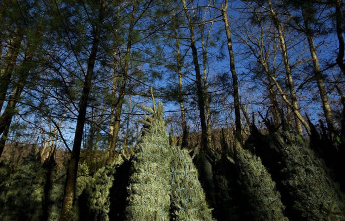 Harvesting of the Christmas Trees