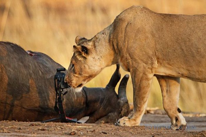 Lion Stealing Camera