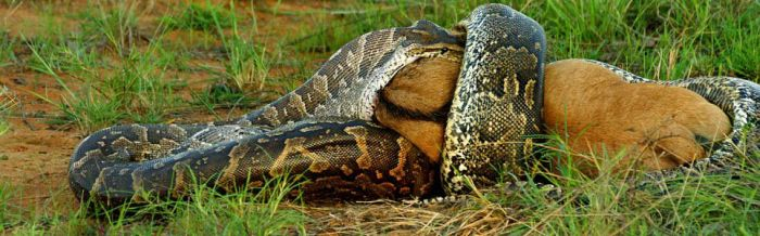 African Python Swallows a Large Prey