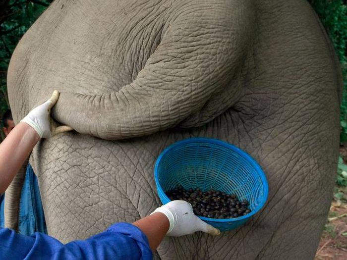 Coffee from an Elephant's Gut