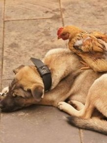 Hen and Dog