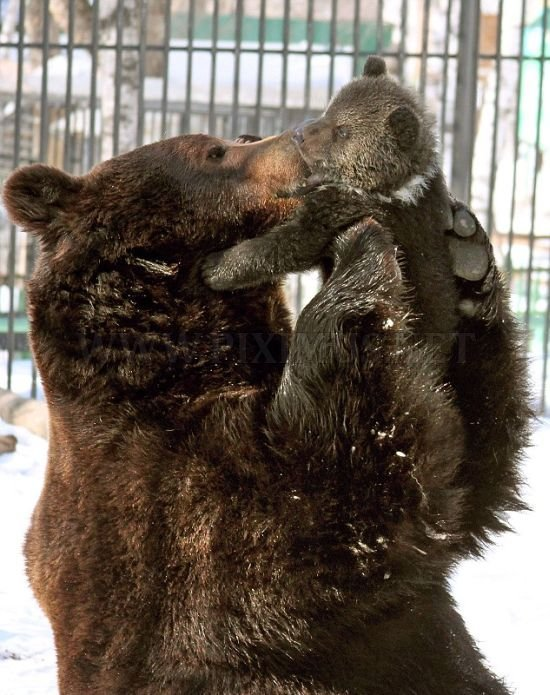 Father Bear Loves His Cub