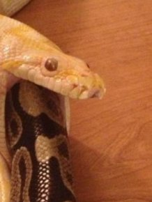 Snake Eating Another Snake