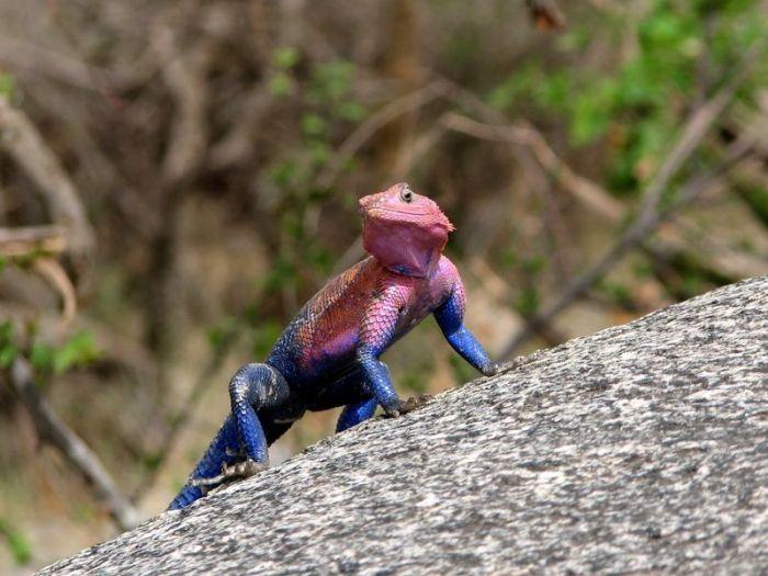 Spider-Man Lizard Agama Mwanzae