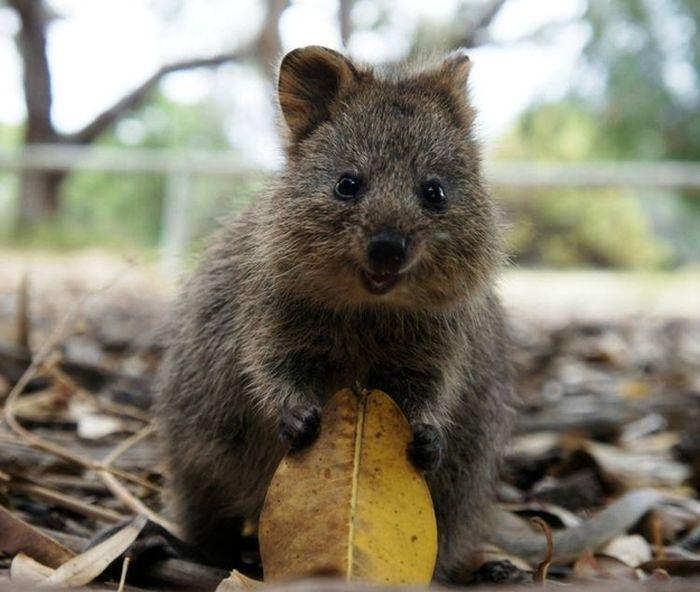 cute animal animals quokka tiny adorable cutest