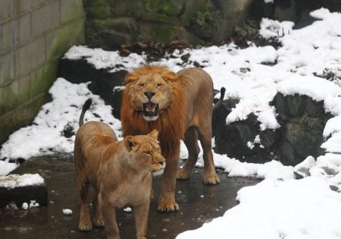 Stupid People vs Two Lions