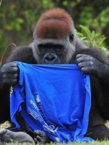 Gorilla vs T-Shirt