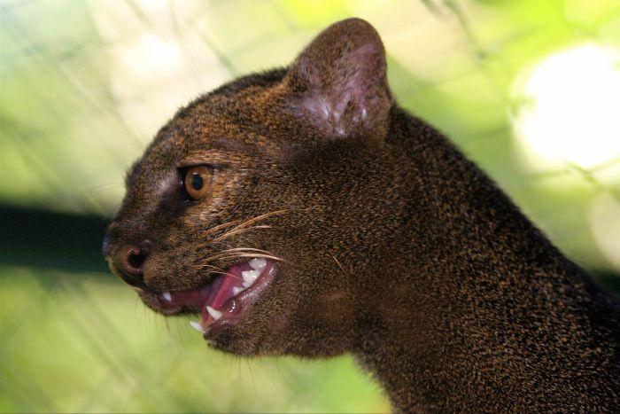 Big Cat South America