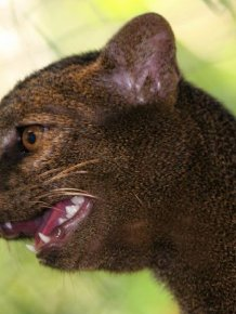 Photos of Wild Cat Jaguarundi