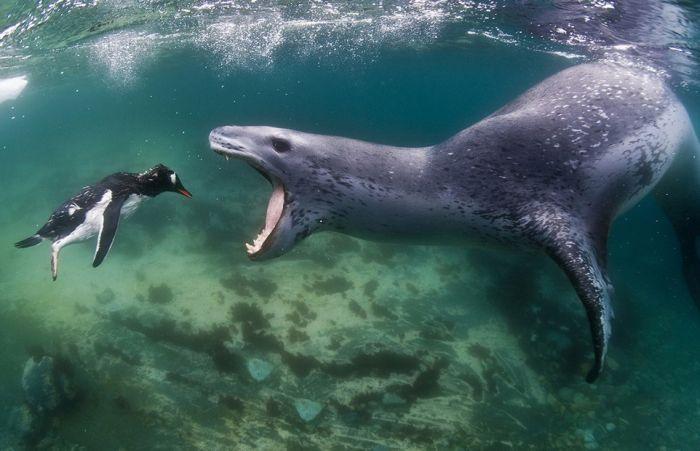 Leopard Seal Eats a Penguin