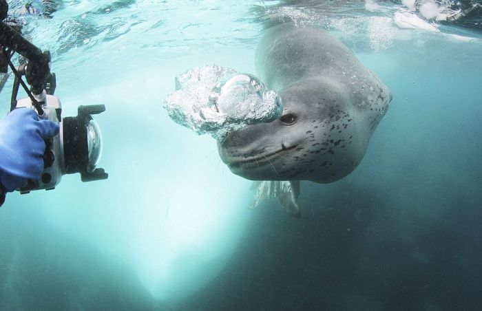 Leopard Seal Eats a Penguin