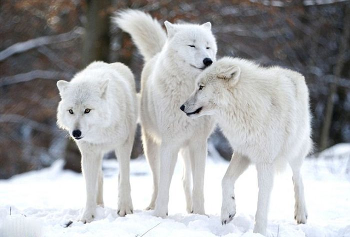 Dining with Wolves