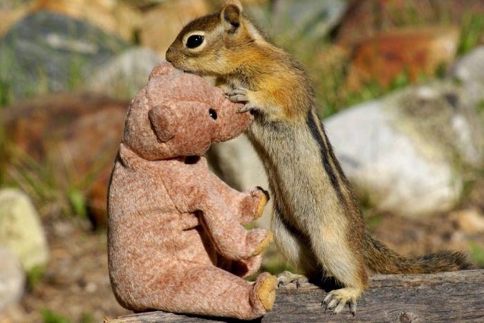 Chipmunk in Love with a Teddy Bear