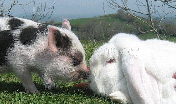 Micro-Pig and a Rabbit
