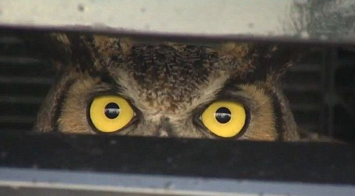 Owl Got Hit by a Car and Survived