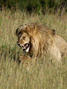 Lions Making Love