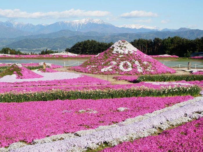 Shibazakura