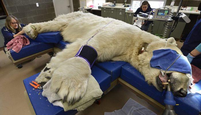 Polar Bear Visits Dentist